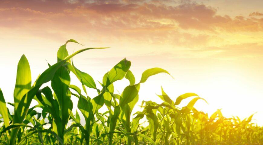 Cobertera nitrogenada para el cultivo del maíz
