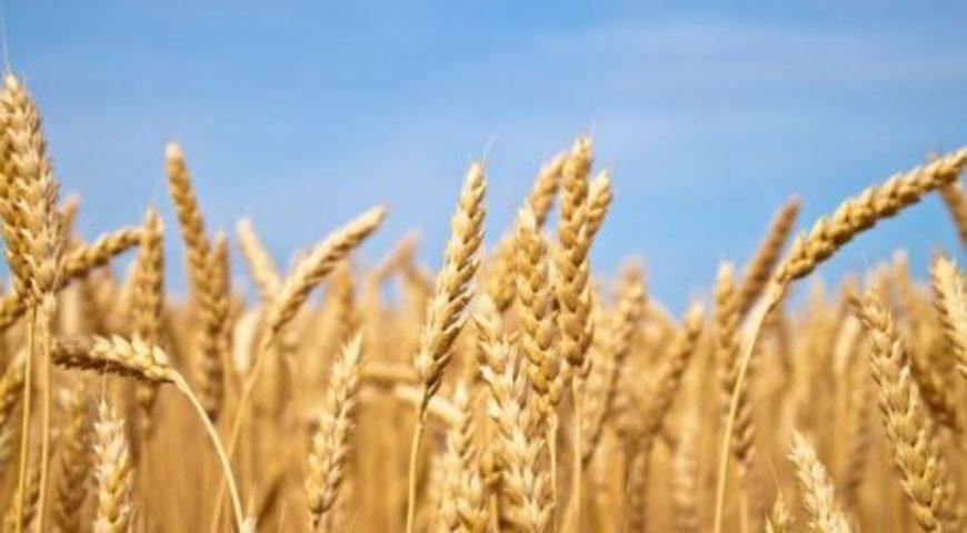 Fertilización de Fondo en los cereales de invierno
