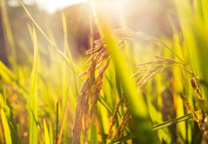 Fertilización de Fondo: Fertilizantes con Inhibidores de la Nitrificación