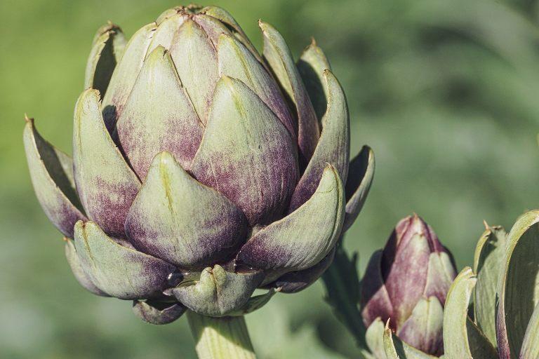 Fertilización del cultivo de la alcachofa