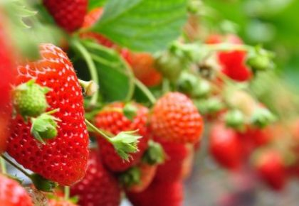 Fertirrigación del cultivo de la fresa bajo plástico