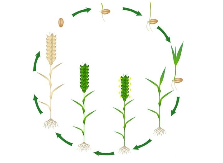 Evolución del desarrollo del cereal desde su simiente.