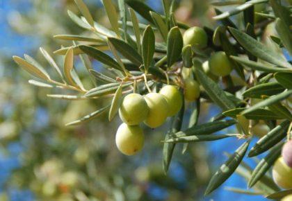¿Cuáles son las principales necesidades nutricionales del olivar?