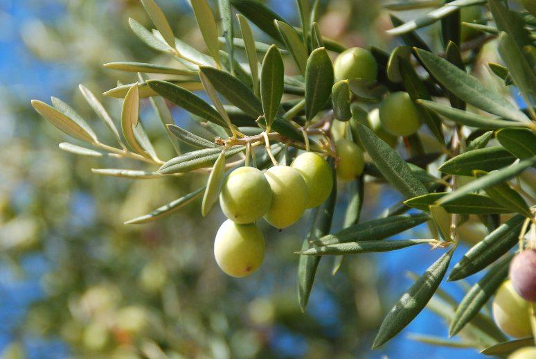 ¿Cómo podemos valorar la rentabilidad de una plantación de olivar?